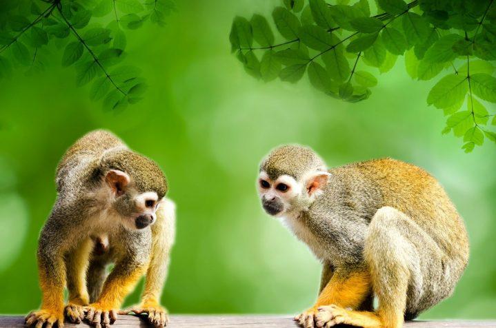singes jaunes amazonie