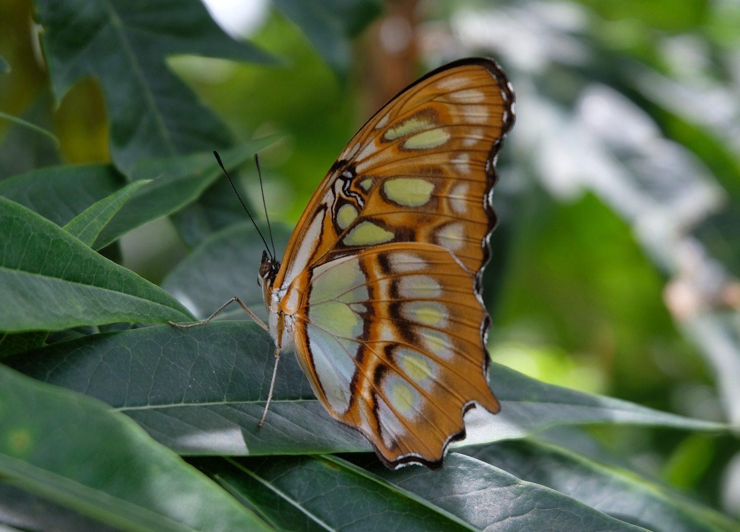 papillon au nicaragua