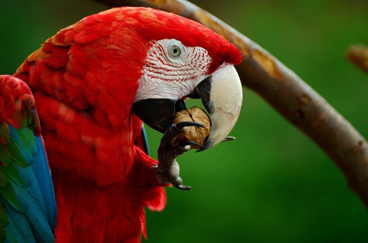 ara rouge au bresil