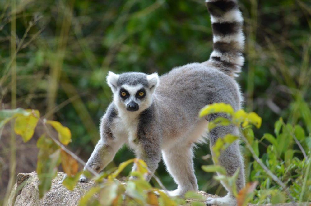 lemurien de madagascar