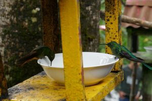 colibri vert
