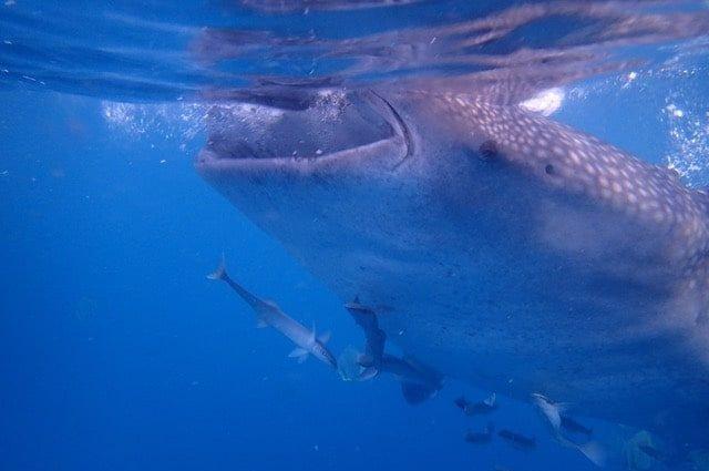 Oslob requin baleine voyage aux philippines famille