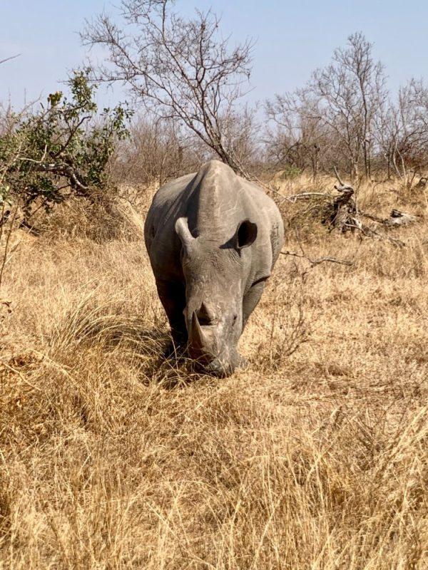rhinceros en afrique du sud