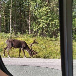 Animaus en suède pendant un road-trip