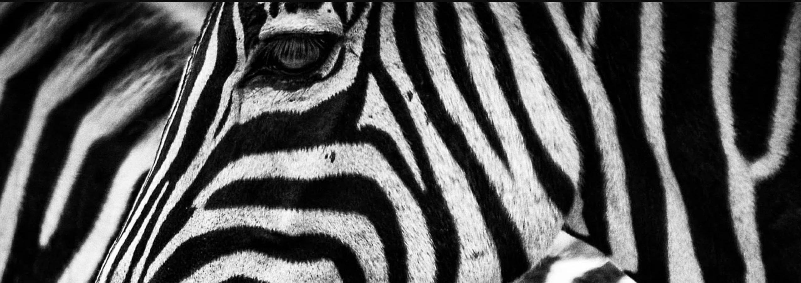 Zebres afrique