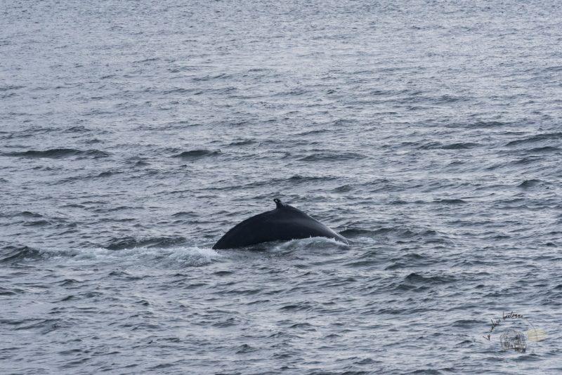 baleines_à_Tadoussac au canada