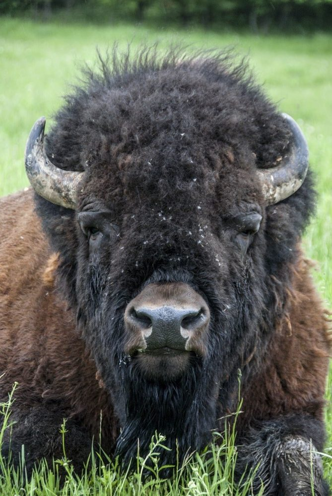 bison au parc omega au canada