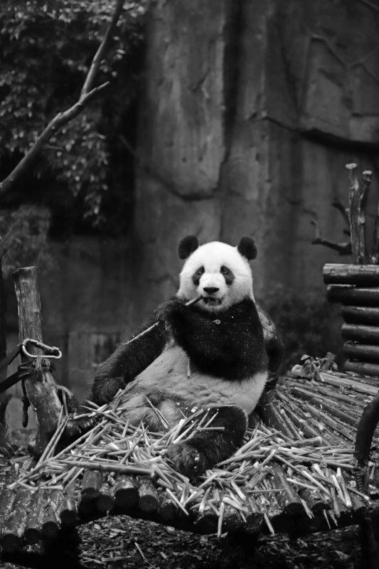 panda en chine