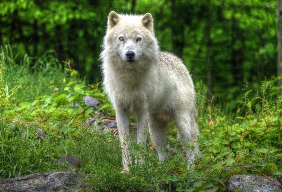 loup au parc omega au canada