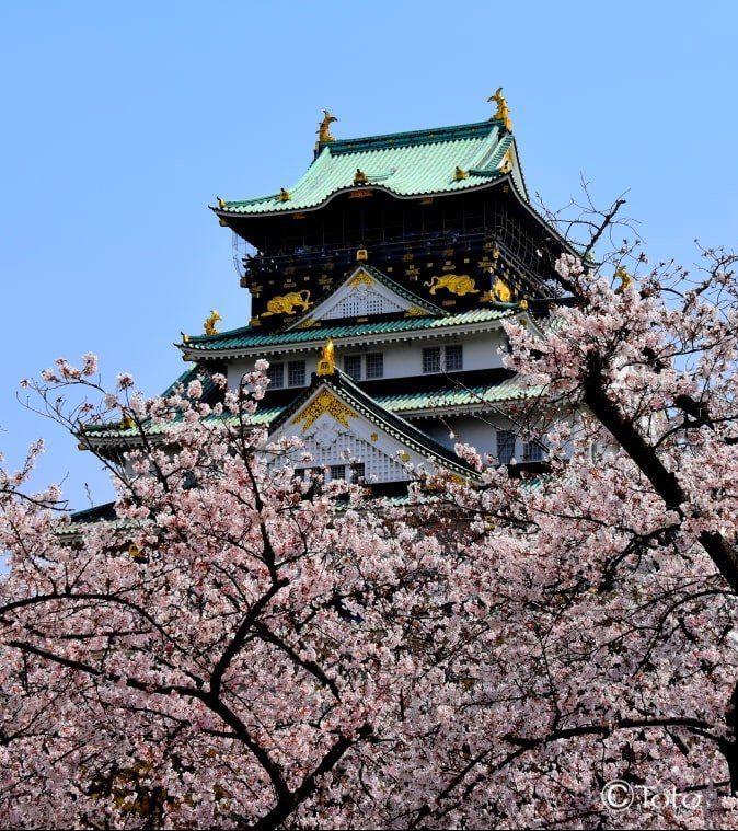 temple avec cerisiers en fleurs au japon