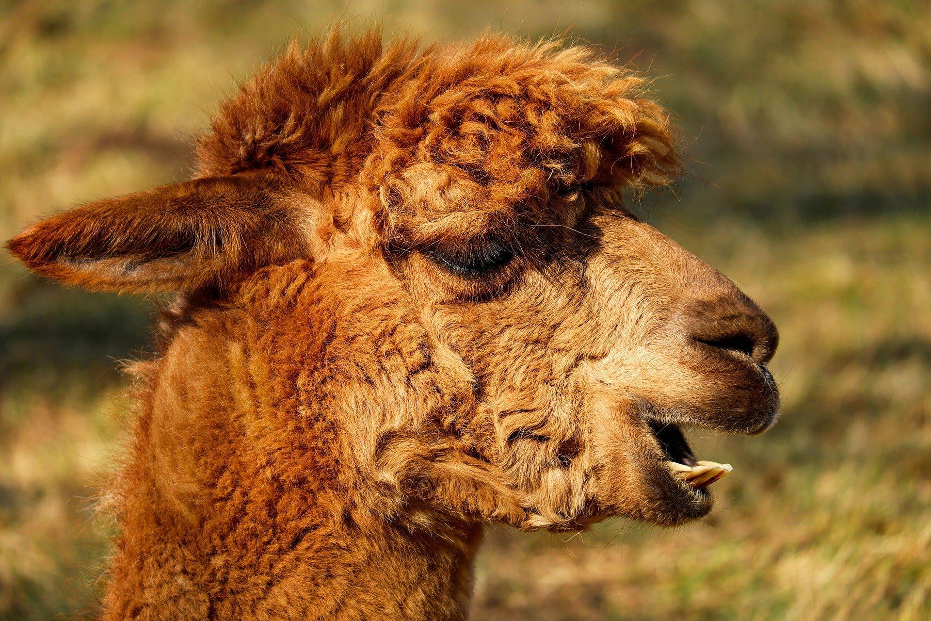 alpaca au pérou voyage en famille