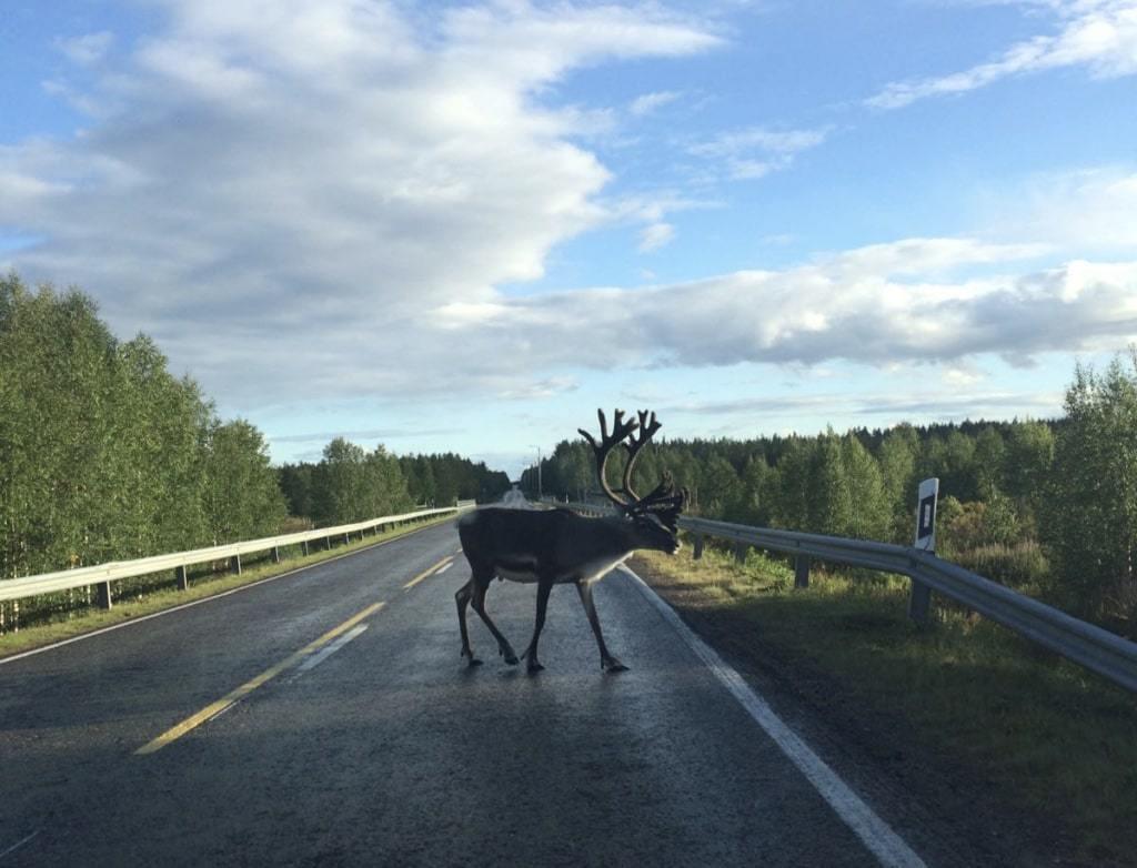 renne au milieu de la route finlande voyage en famille