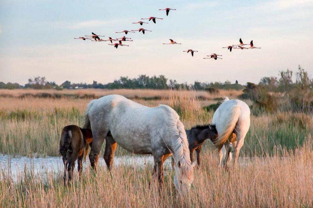 chevaux dans l'eau en camargue