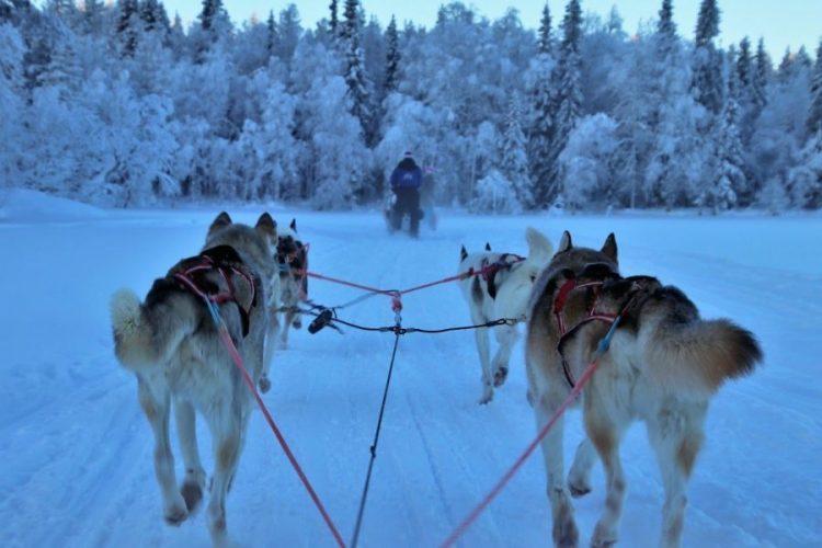 chien de traineau en laponie finlande voyage en famille
