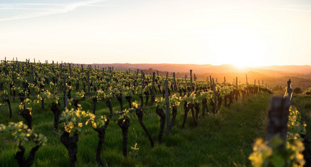 sunset sur les vignes