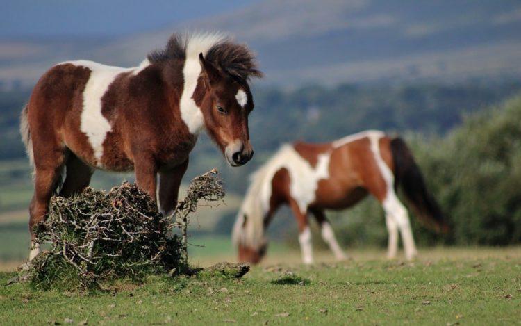 cheval dans un pré dans le dartmoor