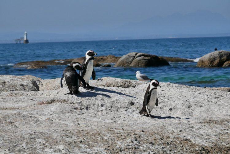 pinguoin au bord de l'océan en afrique du sud