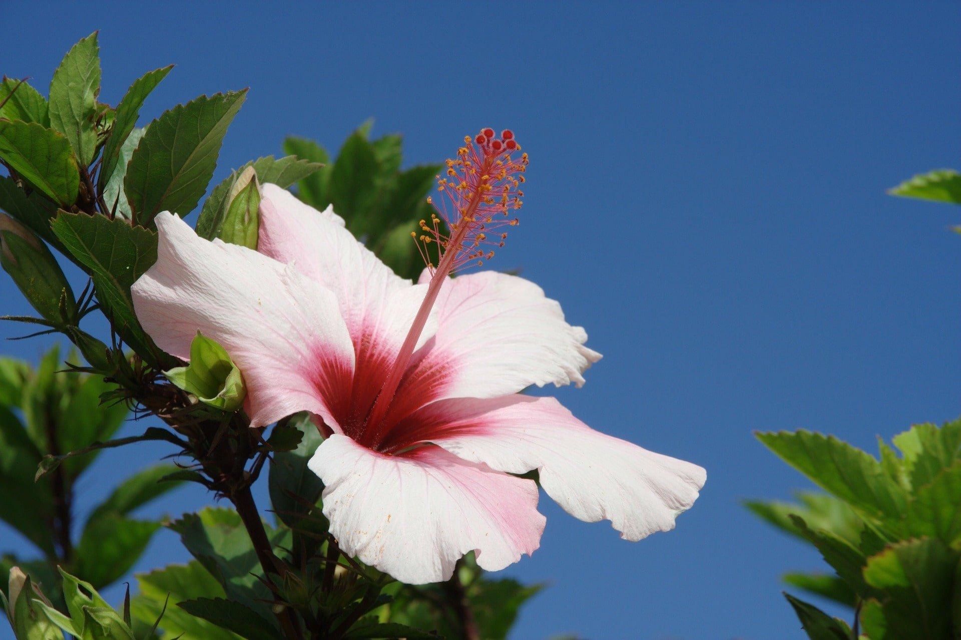 fleur ibiscus madeire