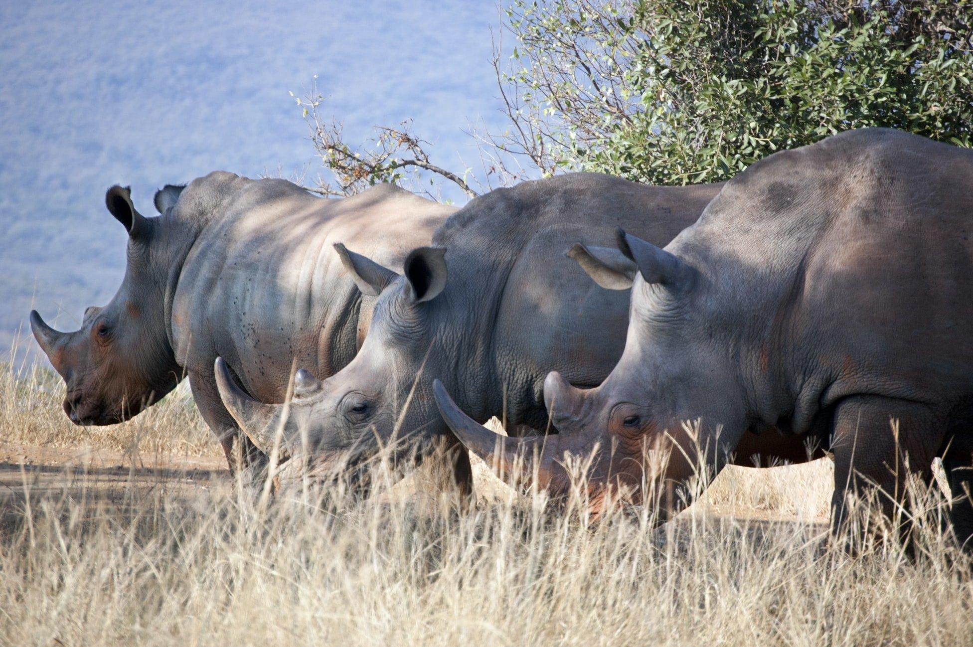rhinoceros dans la savane en afrique du sud