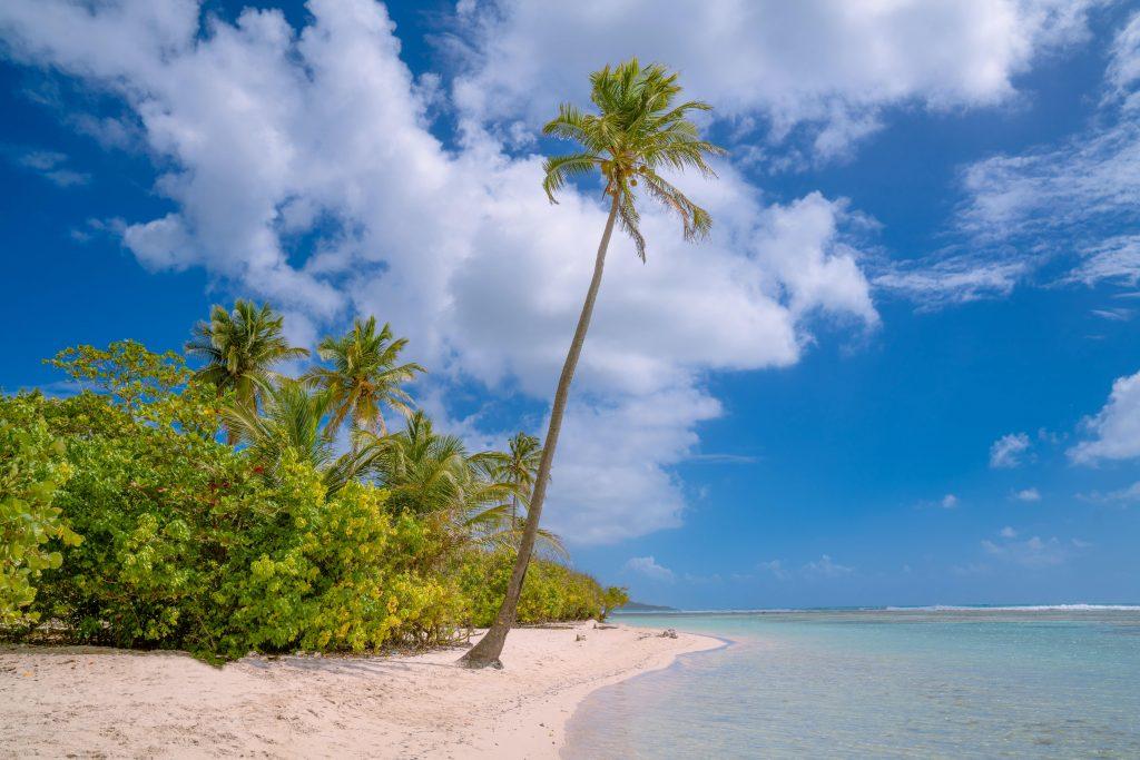 palmier au bord de la plage en guadeloupe