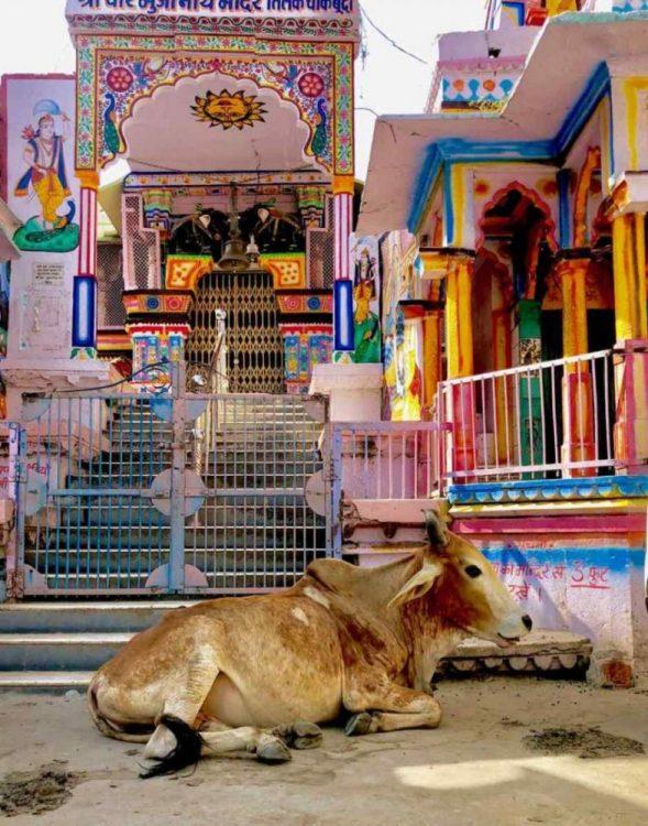 Vache en Inde au Rajasthan
