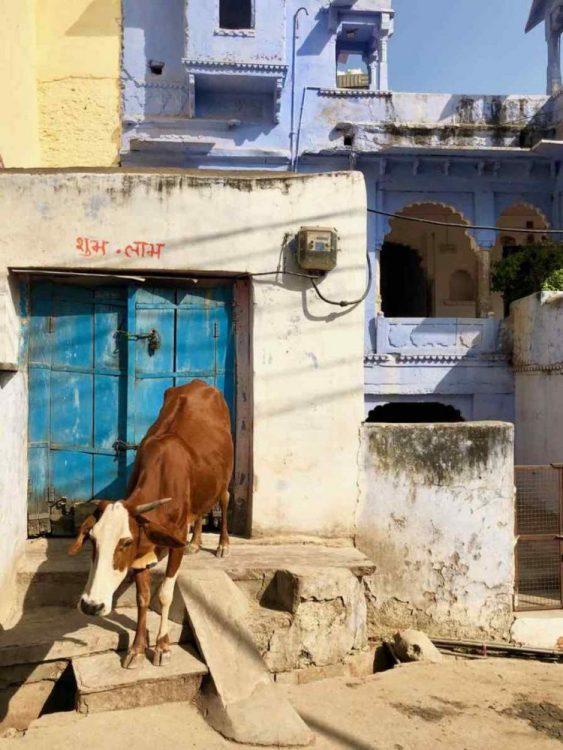 vache sacree en inde