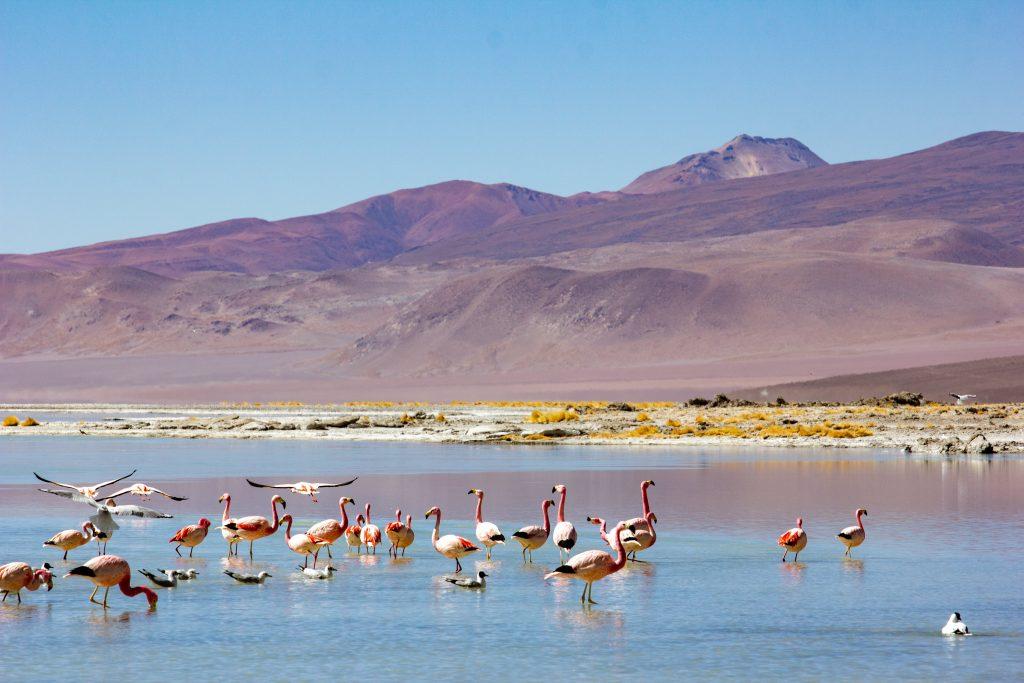 flamands rose dans laguna sud lipez voyage en bolivie