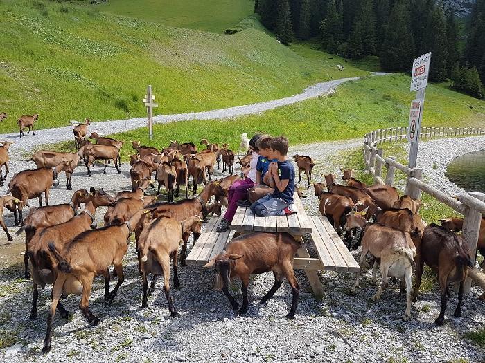 vacances en haute savoie en famille rencontre avec des chèvres