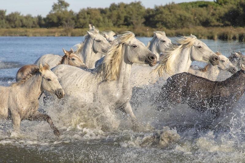 chevaux camargue france