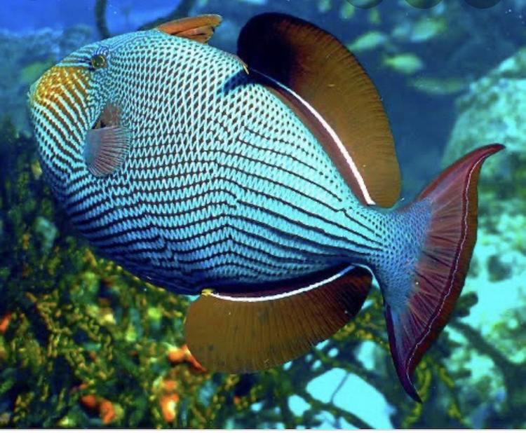 poisson perroquet raja ampat