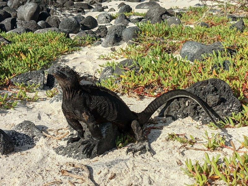 voyage galapagos en famille equateur iguane