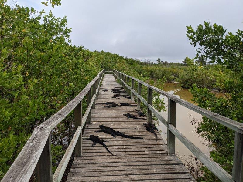 voyage galapagos famille iguanes isabela
