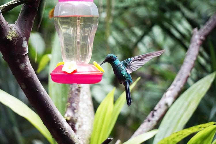colibri à mindo